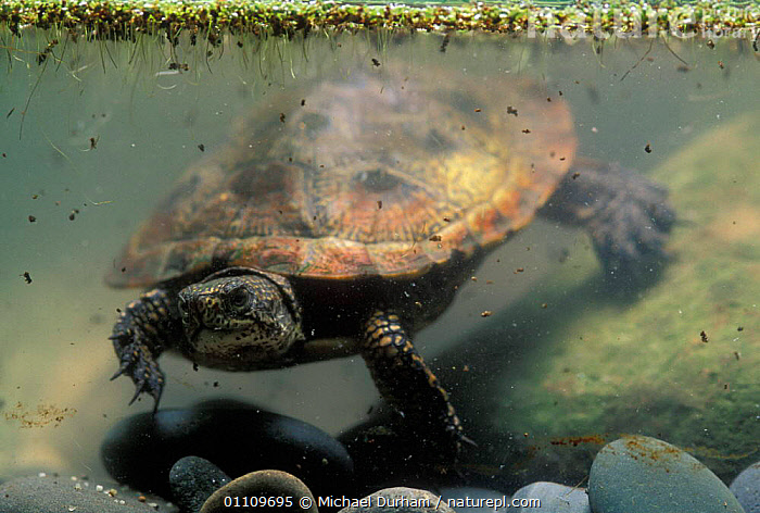 Pacific / Western pond turtle {Clemmys marmorata} adult swimming underwater. Columbia River Gorge, Washington USA., POND-TURTLES, REPTILES, TURTLES, WETLANDS, CHELONIA, UNDERWATER, VERTEBRATES, Michael Durham