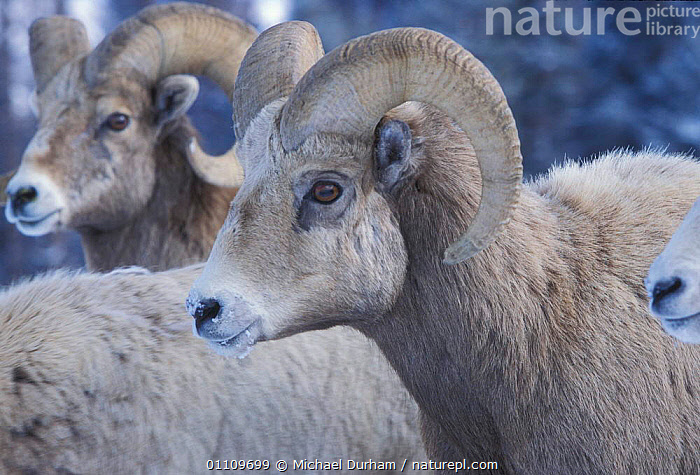 Bighorn ram {Ovis canadensis canadensis} Wallowa Mountains, Oregon, USA, ANTELOPES, ARTIODACTYLA, GOATS, MAMMALS, MOUNTAINS, SHEEP, USA, VERTEBRATES, BOVIDS,North America, Michael Durham