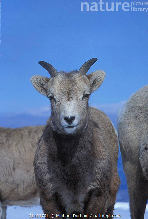 Juvenile Bighorn ram {Ovis canadensis canadensis} Wallowa Mountains, Oregon, USA, ANTELOPES, BOVIDS, GOATS, JUVENILE, USA, ALPINE, ARTIODACTYLA, MAMMALS, MOUNTAINS, SHEEP, VERTEBRATES, WINTER,North America, Michael Durham