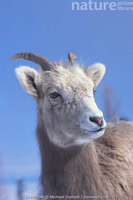 Juvenile Bighorn ram {Ovis canadensis canadensis} Wallowa Mountains, Oregon, USA, ALPINE, BOVIDS, SHEEP, WINTER, ANTELOPES, ARTIODACTYLA, GOATS, JUVENILE, MAMMALS, USA, VERTEBRATES,North America, Michael Durham