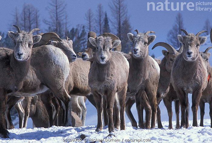 Bighorn sheep ewe group {Ovis canadensis canadensis} Wallowa Mountains, Oregon, USA, ANTELOPES, BOVIDS, GOATS, GROUPS, USA, VERTEBRATES, ALPINE, ARTIODACTYLA, FEMALES, MAMMALS, MOUNTAINS, SHEEP, WINTER,North America, Michael Durham