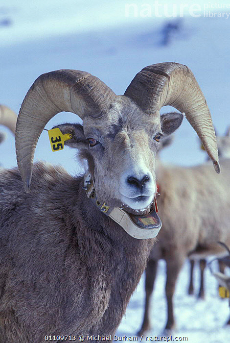 Bighorn ram {Ovis canadensis canadensis} marked with an ear tag and radio collar. Wallowa Mountains, Oregon, USA, ARTIODACTYLA, MAMMALS, MOUNTAINS, RESEARCH, SHEEP, ANTELOPES, BOVIDS, GOATS, SCIENCE, USA, VERTEBRATES,North America, Michael Durham