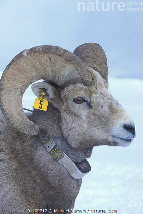 Bighorn ram {Ovis canadensis canadensis} with identification ear tag and collar, Wallowa Mountains, Oregon, USA, ANTELOPES, BOVIDS, GOATS, SCIENCE, USA, VERTEBRATES, ARTIODACTYLA, MALES, MAMMALS, MOUNTAINS, RESEARCH, SHEEP,North America, Michael Durham