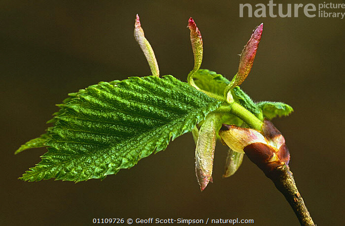European beech leaf emerging from bud {Fagus sylvatica} Cheshire, UK, DICOTYLEDONS,ENGLAND,EUROPE,FAGACEAE,GROWTH,LEAVES,PLANTS,SPRING,TREES,Concepts, Geoff Scott-Simpson