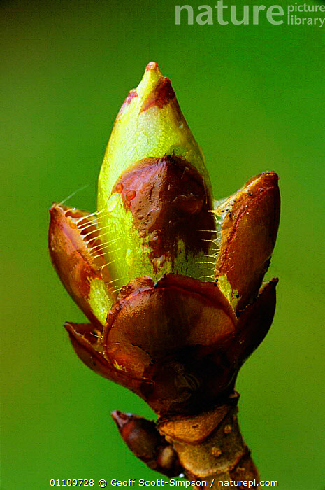 Horse chestnut tree sticky bud opening {Aesculus hippocastanum} England  ,  TREES,PLANTS,GROWTH,SPRING,UK,BUDS,CHESHIRE,EUROPE,United Kingdom,Concepts,British,Equines,NEW,BEGINNINGS  ,  Geoff Scott-Simpson