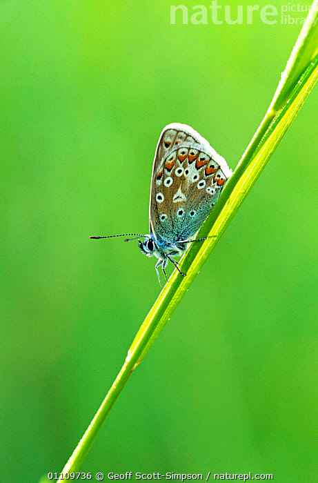 Common blue butterfly {Polyommatus icarus} resting on grass. Derbyshire, UK, WILDLIFE,LEPIDOPTERA,GRASS,INVERTEBRATES,INSECTS,BRITISH,BUTTERFLIES,VERTICAL,ENGLAND,EUROPE,Plants, Geoff Scott-Simpson