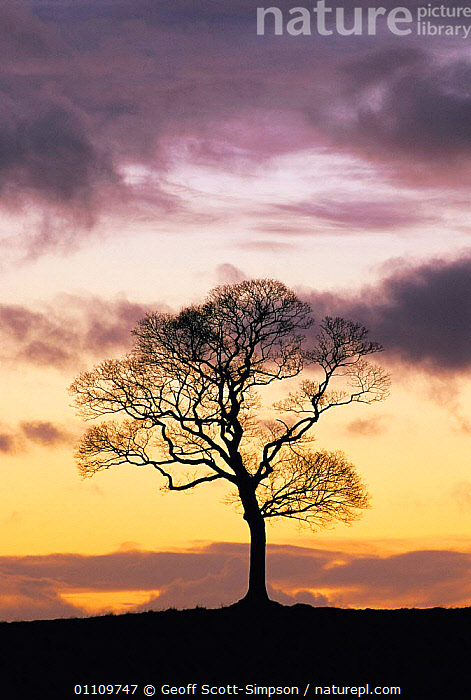 Sycamore tree silhouette at dusk {Acer pseudoplatanus} UK, SILHOUETTES,VERTICAL,CHESHIRE,ENGLAND,TREES,BRITISH,EUROPE,PLANTS, Geoff Scott-Simpson