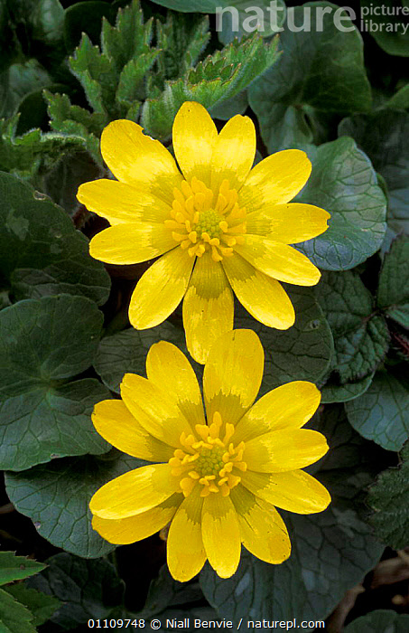 Lesser celandine flowers {Ranunculus ficaria} Scotland, UK, LNR,HORIZONTAL,BUTTERCUPS,BRITISH,EUROPE,YELLOW,TWO,PLANTS, Niall Benvie