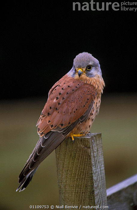Kestrel male perched {Falco tinnunculus} Scotland, UK, VERTICAL,BIRDS,BRITISH,,BIRD,EUROPE,CAPTIVE,MALES,KESTRELS ,BIRDS OF PREY,FALCONS, Niall Benvie