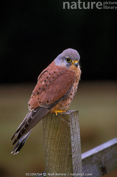 Kestrel male {Falco tinnunculus} Scotland, UK, KESTRELS,MALES,CAPTIVE,EUROPE,BIRD,,BRITISH,BIRDS,VERTICAL ,BIRDS OF PREY,FALCONS, Niall Benvie