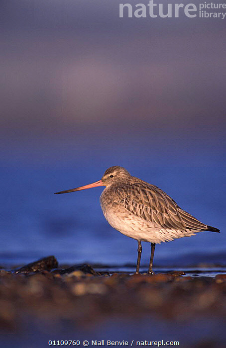 Bar tailed godwit {Limosa lapponica} Scotland, UK, GODWITS,COASTS,BIRDS,WADERS,VERTICAL,RESERVE, Niall Benvie