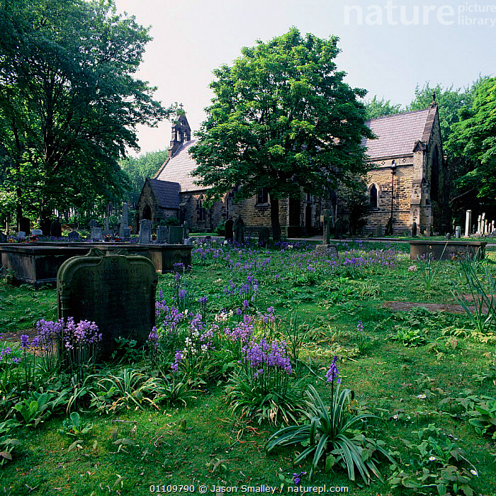 Bluebells {Hyacinthoides non-scripta} in churchyard. Formby, Lancashire, UK., CHURCHES, ENGLAND, EUROPE, FLOWERS, GROWTH, LANDSCAPES, LILIACEAE, MONOCOTYLEDONS, PLANTS, TREES, UK, VERTICAL,Concepts,United Kingdom, Jason Smalley