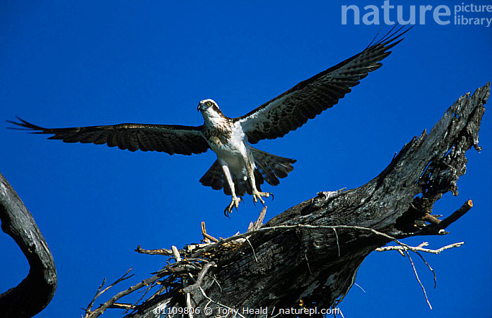 Osprey landing at incomplete nest {Pandion haliaetus} Western Australia, Australia, AUSTRALIA,BEHAVIOUR,BIRD OF PREY,BIRDS,BUILDING,FLYING,HORIZONTAL,MAKING,NESTS,ONE,RAPTOR ,BIRDS OF PREY, Tony Heald