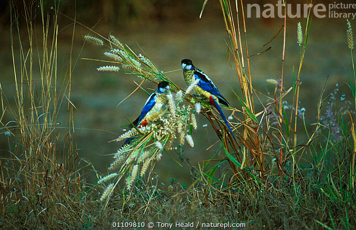 Northern rosella pair feeding on grass {Platycercus venustus} Northern Territory, Australia, AUSTRALIA,BIRDS,FEEDING,HEALD,HORIZONTAL,PARROTS,TH,TWO, Tony Heald