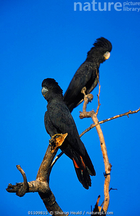 Red tailed black cockatoos perched {Calyptorhynchus banksii} Western Australia, AUSTRALIA,BIRD,BIRDS,PARROTS,PERCHED,TH,TWO,VERTICAL, Sharon Heald