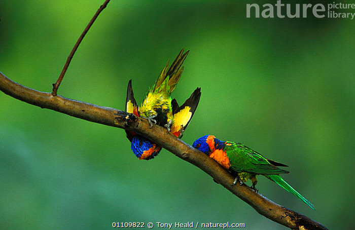 Red collared rainbow lorikeets {Trichoglossus haemotadus rubritorquatus} Western Australia, AUSTRALIA,BEHAVIOUR,BIRD,BIRDS,COLOURFUL,HORIZONTAL,LORIKEETS,PARROTS,PLAY,PLAYING,TH,TWO,COMMUNICATION, Tony Heald