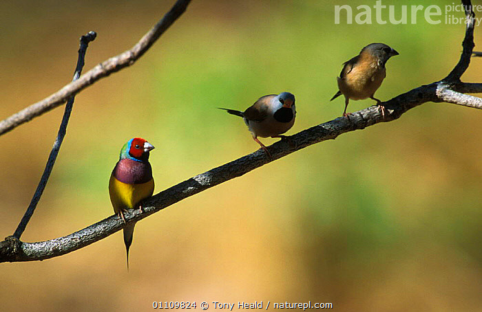 Gouldian finch, red faced morph {Chloebia gouldiae} Northern Territory, Australia, AUSTRALIA,BIRD,BIRDS,COLOUR,COLOURFUL,ENDANGERED,HORIZONTAL,INTRASPECIFIC,MORPHISM,NORTHERN,PERCHED,TH,THREE,VARIATION,VERTICAL, Tony Heald