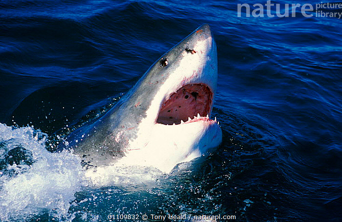 Great white shark {Carcharodon carcharias} surfacing, False Bay, South Africa, AFRICA,DRAMATIC,FISH,HORIZONTAL,MARINE,MOUTHS,SEA,SHARKS,SOUTHERN AFRICA,SURFACE,TEETH,TH, Fish, Tony Heald