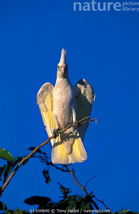Little corella perched {Cactua sanguinea} Northern Territory, Australia, AUSTRALIA,BIRD,BIRDS,CORELLAS,PARROTS,PERCHED,PORTRAIT,TREES,VERTICAL,WHITE,PLANTS,COCKATOOS, Tony Heald
