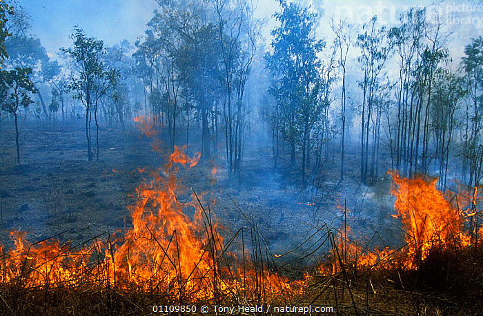 'Cool burn' fire, canopy is unaffected, Kakadu NP, Northern Territory, Australia, BURNING,CANOPY,CONSERVATION,CONTROLLED,COOL,FIRE,FLAMES,HABITAT,KAKADU,MANAGEMENT,NATIONAL PARK,NP,RESERVE,TH, Tony Heald