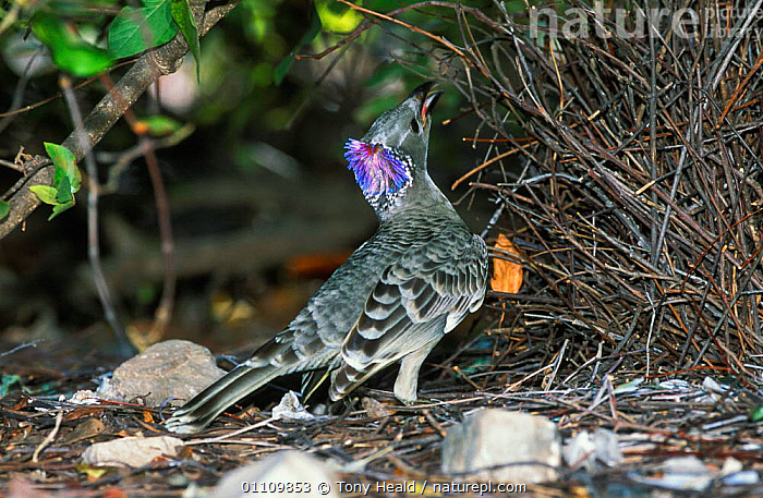 Great grey bowerbird displays neck crest {Chlamydera nuchalis} Northern Territory, Australia, AUSTRALIA,BEHAVIOUR,BIRD,BIRDS,BOWER,BOWERBIRDS,COURTSHIP,CREST,DISPLAY,FEATHERS,HORIZONTAL,REPRODUCTION,TH,VOCALISATION,COMMUNICATION, Tony Heald