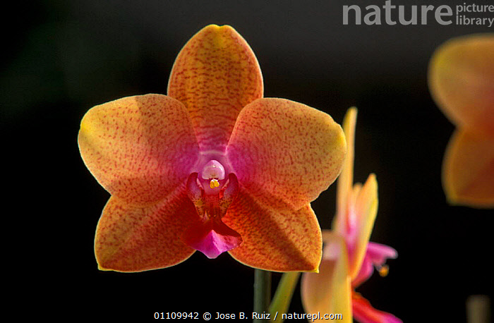 Tropical orchid cultivated, FLOWERS,FLOWER,PORTRAITS,ORANGE,ORCHIDS, Jose B. Ruiz