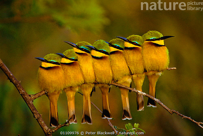 Seven Little bee-eaters perched in a row {Merops pusillus} Kenya, ORANGE,CUTE,GROUPS,AFRICA,BIRD,LINE,BIRDS,GROUP,INDIVIDUALITY,RESERVE,EAST AFRICA,Concepts, Peter Blackwell