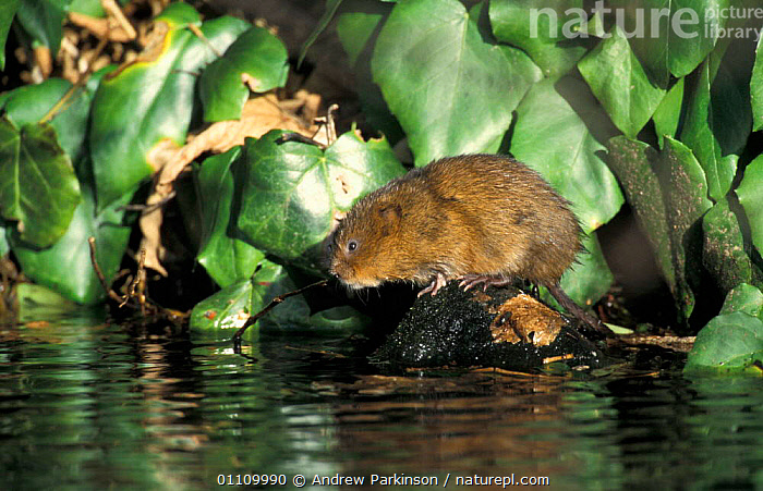 Water vole defecating at latrine {Arvicola terrestris} in canal, Derbyshire, UK, RODENTS,MAMMALS,VOLES,BRITISH,ENGLAND,BEHAVIOUR,DEFECATION,EUROPE,WILDLIFE,FRESHWATER,FAECES,MURIDAE, Andrew Parkinson