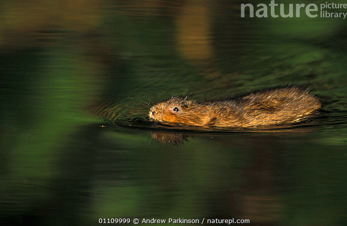 Water vole swimming {Arvicola terrestris} Cromford canal, Derbyshire, UK, EUROPE,ENGLAND,BEHAVIOUR,BRITISH,MAMMALS,HORIZONTAL,FRESHWATER,WILDLIFE,VOLES,RODENTS,MURIDAE, United Kingdom, United Kingdom, United Kingdom,GettyBOV, Andrew Parkinson
