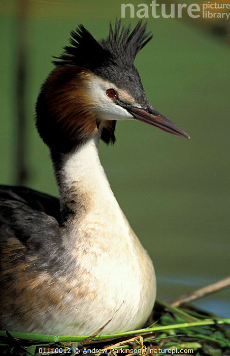 Great crested grebe on nest {Podiceps cristatus} Butterley res, Derbyshire, UK, EUROPE,ENGLAND,BIRDS,BRITISH,GREBES,NESTS,WATERFOWL,VERTICAL,PORTRAITS, Andrew Parkinson