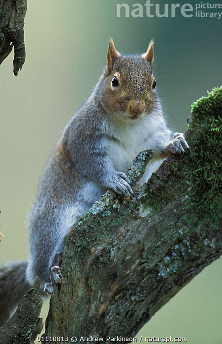 Grey squirrel {Sciurus carolinensis} Wales, UK, PORTRAITS,RODENTS,VERTICAL,SQUIRRELS,MAMMALS,BRITISH,ENGLAND,EUROPE, Andrew Parkinson