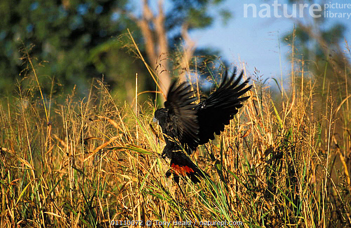 Red tailed black cockatoo {Calyptorhynchus banksii} Western Australia, AUSTRALIA,BIRD,BIRDS,FLYING,GRASS,GRASSES,ONE,PARROTS,TH,WINGS,PLANTS, Tony Heald