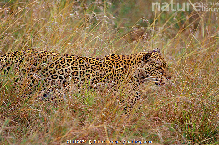 Leopard camouflaged in grass {Panthera pardus} Masai Mara, Kenya, East Africa  ,  RESERVE,HORIZONTAL,MAMMALS,CAMOUFLAGE,CARNIVORES,EAST AFRICA,CATS,AFRICA,LEOPARDS,BIG CATS  ,  Brent Hedges