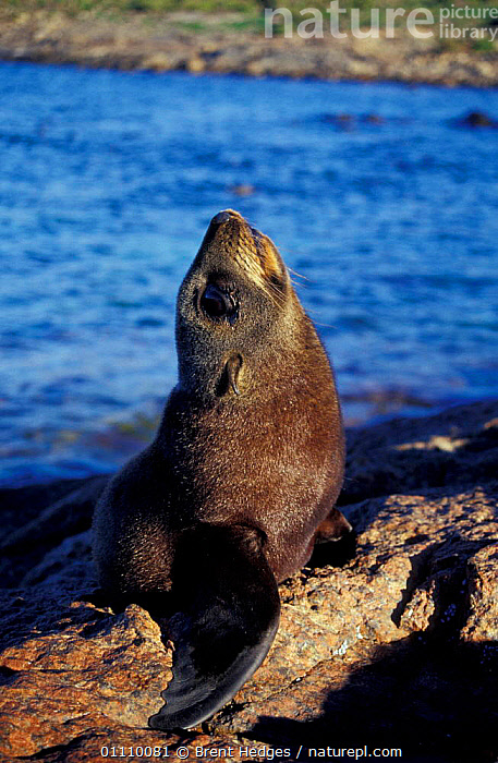 New Zealand fur seal {Arctocephalus forsteri} South Australia, MAMMALS,DISPLAY,VOCALISATION,PINNIPEDS,Communication, Brent Hedges