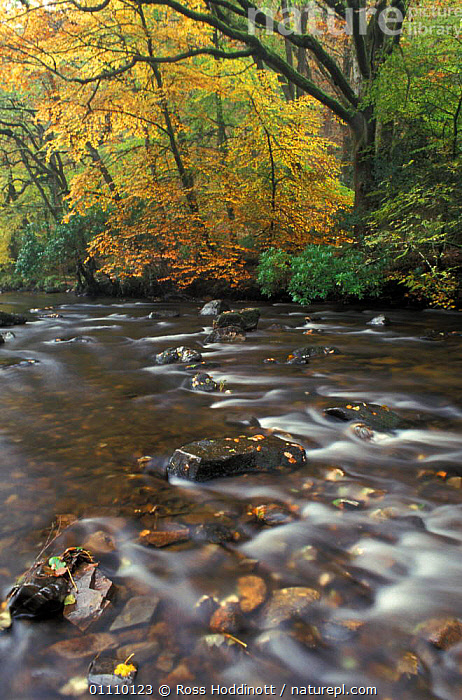 River Teign and autumn woodland at Fingle bridge, Dartmoor, Devon, EUROPE,RESERVE,WOODLANDS,RIVERS,LANDSCAPES,ENGLAND,GettyBOV, Ross Hoddinott