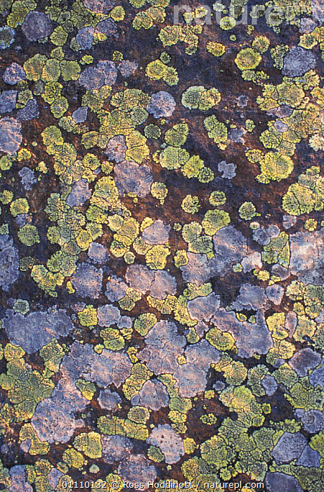 Map lichen {Rhizocarpon geographicum} Dartmoor, Devon, UK, abstracts, BOV, ENGLAND, EUROPE, FUNGI, LICHENS, UK,Plants,United Kingdom, Ross Hoddinott