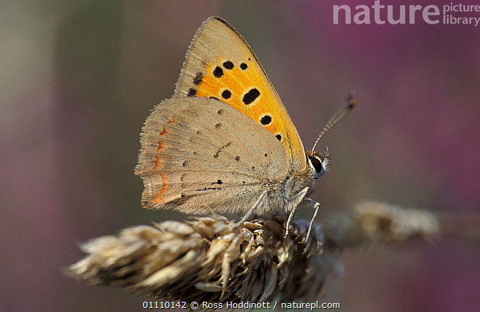 Small copper butterfly {Lycaena phlaeas} Cornwall, UK, BRITISH,EUROPE,LEPIDOPTERA,ENGLAND,INSECT,INSECTS,BUTTERFLIES,INVERTEBRATES, Ross Hoddinott