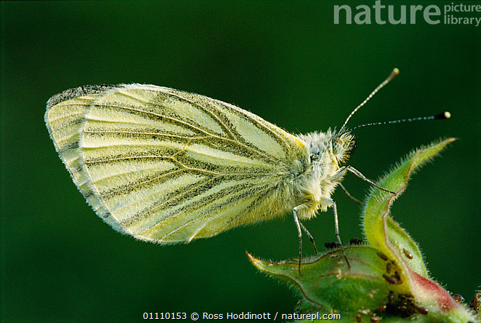 Green veined white butterfly {Pieris napi} Cornwall, UK, PLANTS,INSECT,ENGLAND,BRITISH,BUTTERFLIES,INSECTS,LEPIDOPTERA,EUROPE,Invertebrates, Ross Hoddinott
