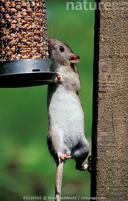 Brown rat {Rattus norvegicus} climbing to feed on nuts in bird feeder. Cornwall, UK, BIRDS,FEEDING,GARDENS,PESTS,RATS,EUROPE,FEEDER,FEEDERS,RODENT,BRITISH,PEANUTS,ENGLAND,BEHAVIOUR,RODENTS,MAMMAL,MAMMALS,MURIDAE,GettyBOV,United Kingdom, Ross Hoddinott
