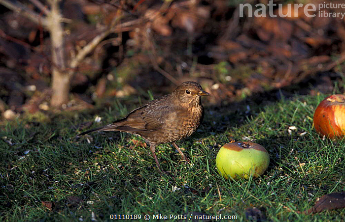 Blackbird female {Turdus merula} feeding on fallen apple, UK, BIRD,FRUIT,BRITISH,ORCHARD,BIRDS,THRUSHES,GARDENS,PASSERINES,AUTUMN,EUROPE,FEMALES,PASSERINE,ENGLAND,PLANTS,United Kingdom, Mike Potts
