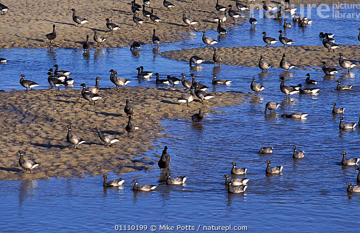 Dark bellied brent geese {Branta b bernicla} drinking + bathing in creek, Norfolk, UK, SEA,EUROPE,BIRDS,WILDFOWL,ENGLAND,BRITISH,FLOCKS,WELLS,BIRD,WATERFOWL,GROUPS, waterfowl,United Kingdom, Mike Potts