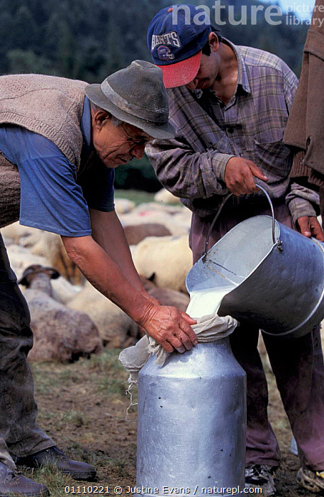 Shepherds pouring sheep milk into churns Transylvania, Romani, PEOPLE,WORKING,TRANSYLVANNIA,LANDSCAPES,SHEPHERD,TRADITIONAL,EUROPE, Justine Evans