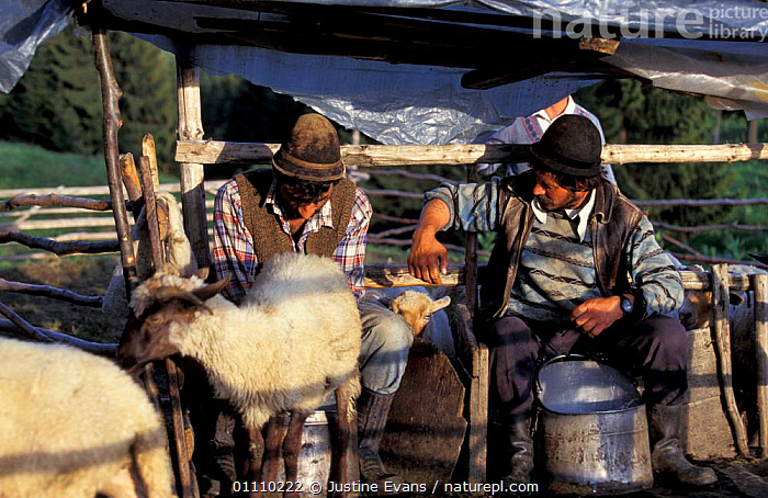 Shepherds milking sheep Transylvania, Romania, TRADITIONAL,PEOPLE,SHEPHERD,LANDSCAPES,MAMMALS,MILK,LIVESTOCK,HORIZONTAL,ARTIODACTYLA,EUROPE, Justine Evans
