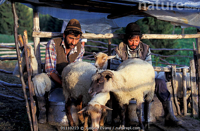 Shepherds milking sheep Transylvania, Romania, LIVESTOCK,TRADITIONAL,TRANSYLVANNIA,DOMESTIC,MAMMAL,LANDSCAPES,SHEPHERD,PEOPLE,MAMMALS,MILK,ARTIODACTYLA,EUROPE, Justine Evans