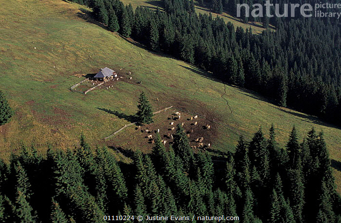 Shepherd's summer camp with hut and livestock on summer pasture Transylvania, Romania, BUILDINGS,SCENIC,AERIAL,LANDSCAPES,LANDSCAPE,SCENICS,SHEPHERD,AERIAL ,AERIALS,EUROPE, Justine Evans