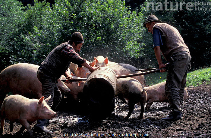 Shepherds feeding pigs in summer camp, Transylvania, Romania, MAMMAL,TRANSYLVANNIA,DOMESTIC,LIVESTOCK,SHEPHERD,LANDSCAPES,PEOPLE,TRADITIONAL,MAMMALS,EUROPE, Justine Evans