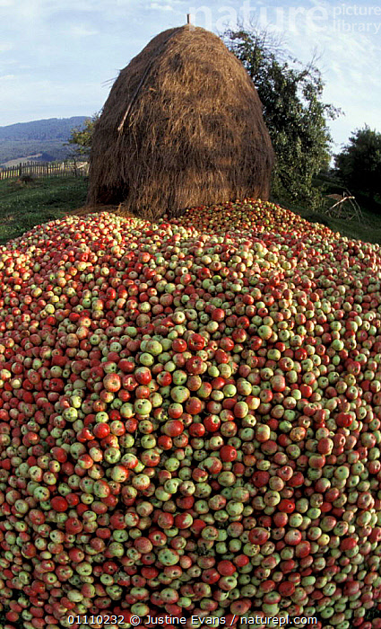 Apple harvest + haystack from domestic orchard, Transylvania, Romania, CROPS,LANDSCAPES,FRUIT,HAY,SUMMER,VERTICAL,PLANTS,EUROPE, Justine Evans