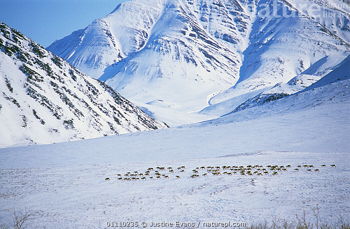 Caribou / Reindeer {Rangifer tarandus} herd passing through Anuktuvuk Pass, Brooks range, Alaska, USA, ARTIODACTYLA,CERVIDS,DEER,GROUPS,LANDSCAPES,MAMMALS,migraton,SNOW,USA,VERTEBRATES,North America, Justine Evans
