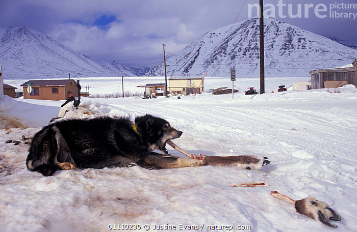 Inuit dog eating Reindeer leg bone, Brooks Range, Anuktuvuk Pass, Alaska, USA, TRADITIONAL,SNOW,HUNTING,HUNTING FOOD,FEEDING,LANDSCAPES,MAMMALS,NORTH AMERICA,NORTH,AMERICA,DOMESTIC,CARIBOU,ARTIODACTYLA,USA, Justine Evans