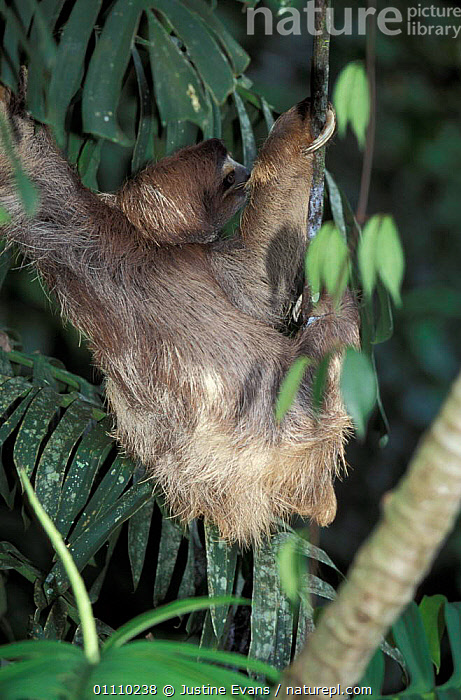 Brown throated (three toed) sloth {Bradypus variegatus} Costa Rica, Central America, TOED,THREE,VERTICAL,SLOTHS,MAMMALS,EDENTATES,CENTRAL AMERICA,CLIMBING, Justine Evans
